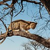 Leopard (Panthera pardus), Durstenbrook/Windhoek