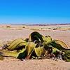 Welwitschia Plant (Welwitschia mirabilis), 2,500yo., Damaraland
