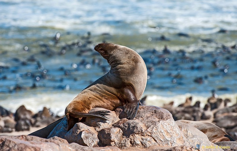 Cape Fur Seals (Arctocephalus pusillus), Cape Cross, Skeleton Coast