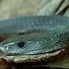 Black Mamba (Dendroaspis polylepis), Swakopmund