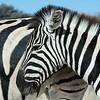 Plains Zebra (Equus quagga)<br /> Etosha NP, Namibia