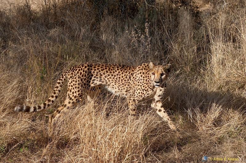 Cheetah (Acinonyx jubatus), Durstenbrook/Windhoek