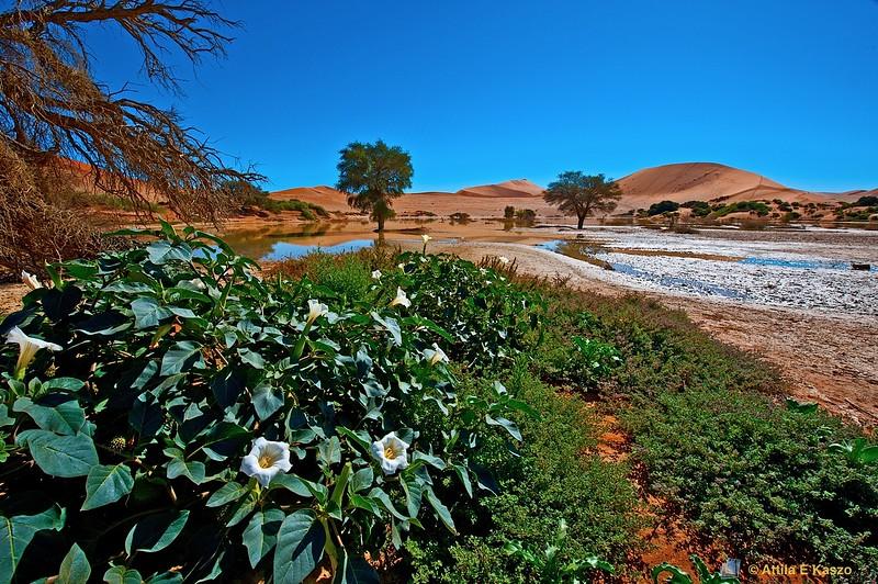 Desert Flora - Sossusvlie, Namib NP