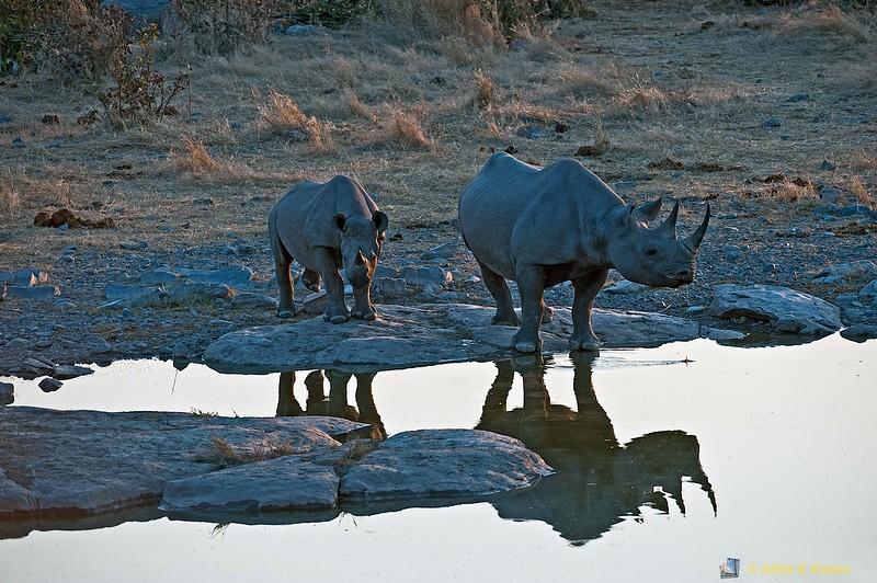 Black Rhinoceros (Diceros bicornis), Etosha NP