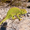 Cape Dwarf Chameleon (Bradypodion pumilum), Kaokoveld