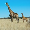 Giraffe (Giraffa camelopardalis), Etosha NP