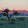 Social Weaver Birds Nest, Sossusvlie, Namib NP