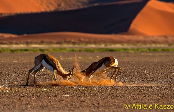 Springbok (Antidorcas marsupialis), Sossusvlie, Namib NP