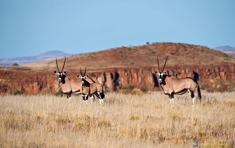 Gemsbok (Oryx gazella), Damaraland