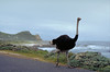 Ostrich strlling the Cape Point.