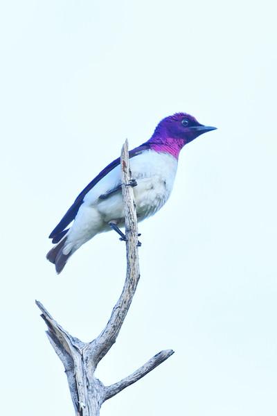 Velvetl-backed starling