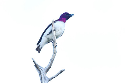 Velvetl-backed starling