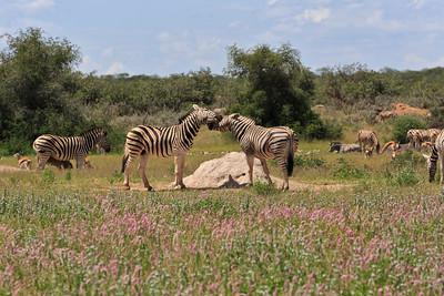 Burchell's zebras