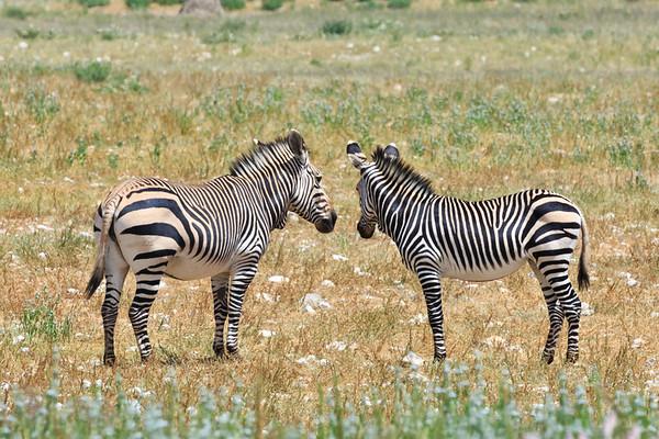 Hartmann's mountain zebra