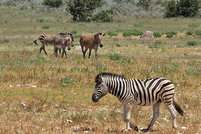 Burchell's and Hartmann's mountain zebras