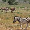 Burchell's and Hartmann's mountain zebras