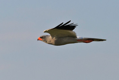 Pale-chanting goshawk