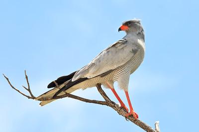 Pale-chanting goshawk
