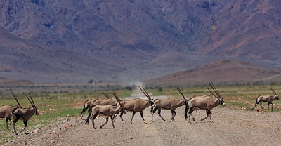 Gemsbok crossing C27 approaching  Namib Naukluft Park