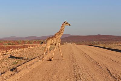 Giraffe crossing C43 near Palmwag