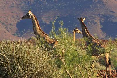 Angolan giraffe