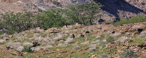 Chacama baboon