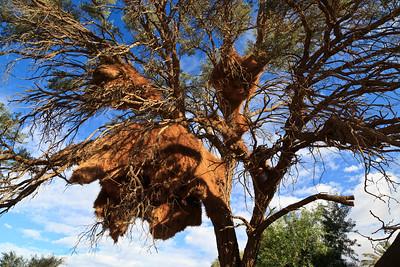 Large socialbe weaver nest