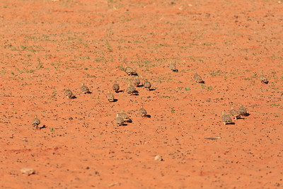 Flock of Namaqua sandgrouse