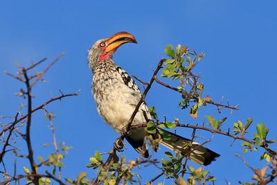 Southern yellow-billed hornbill 4