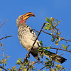 Southern yellow-billed hornbill 4
