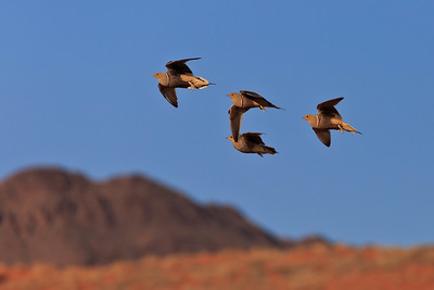 Namaqua sandgrouse 3
