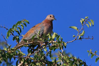 Speckled pigeon (Rock Pigeon)