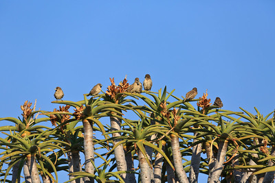 Sociable weavers at the top of a quiver tree