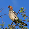 Southern yellow-billed hornbill 3