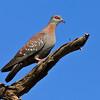 Speckled pigeon (Rock pigeon) 2