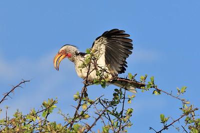 Southern yellow-billed hornbill 2