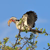 Southern yellow-billed hornbill 2