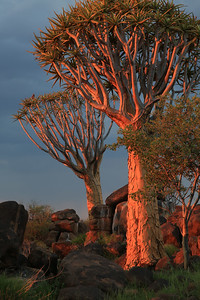Quivertree Forest sunset