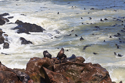 Cape fur seals 2