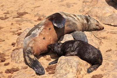 Cape fur seal pup nursing