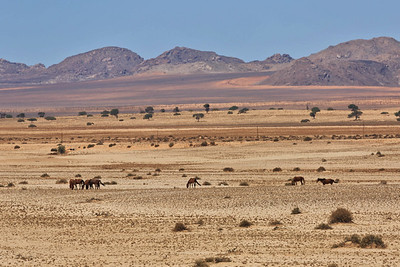 Wild desert horses of the Garub Plain