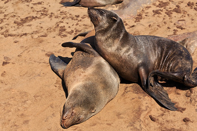 Cape fur seals 3