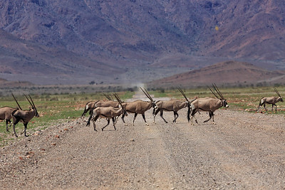 Gemsbok roadblock