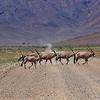 Gemsbok roadblock