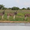 Burchell's zebras next to waterhole