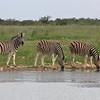 Burchell's zebras at waterhole