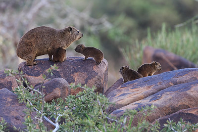 Rock Hyrax (Dassie) family