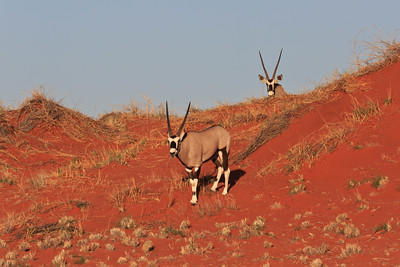 Gemsbok on red sanddune