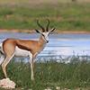Springbok next to a waterhole