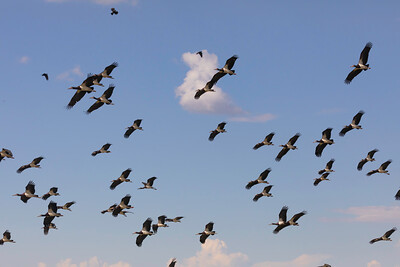Abdim's stork (Ciconia abdimii)